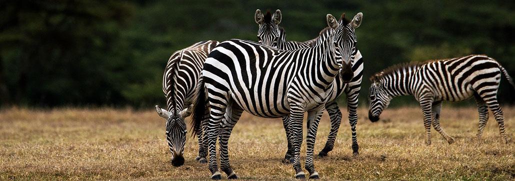 Uganda Zebra Safaris
