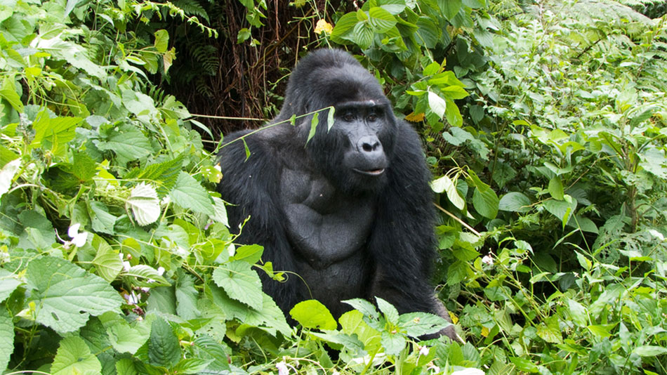 3 Days Uganda Fly In Gorilla Safari