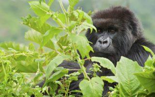 3 Days Rwanda Gorilla Family Special