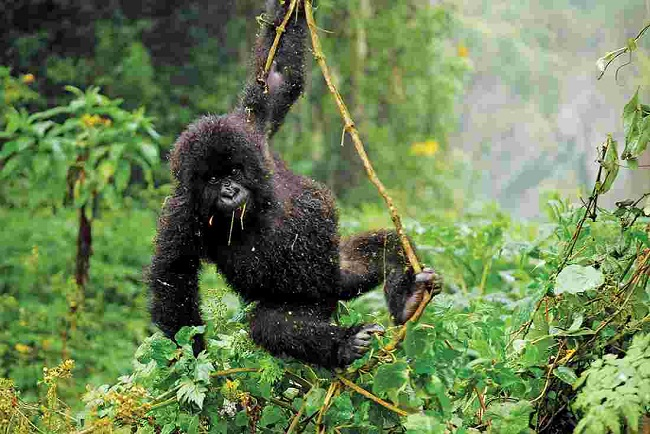 3 Days Rwanda Gorillas & Golden Monkeys Tour