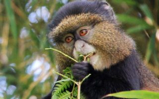 3 Days Rwanda Gorillas & Golden Monkeys