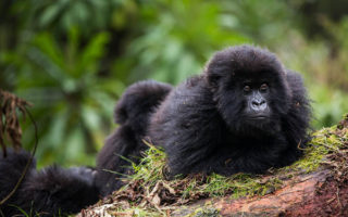 4 Days Double Gorilla Tracking