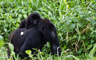 4 Days Virunga Double Gorilla Trekking
